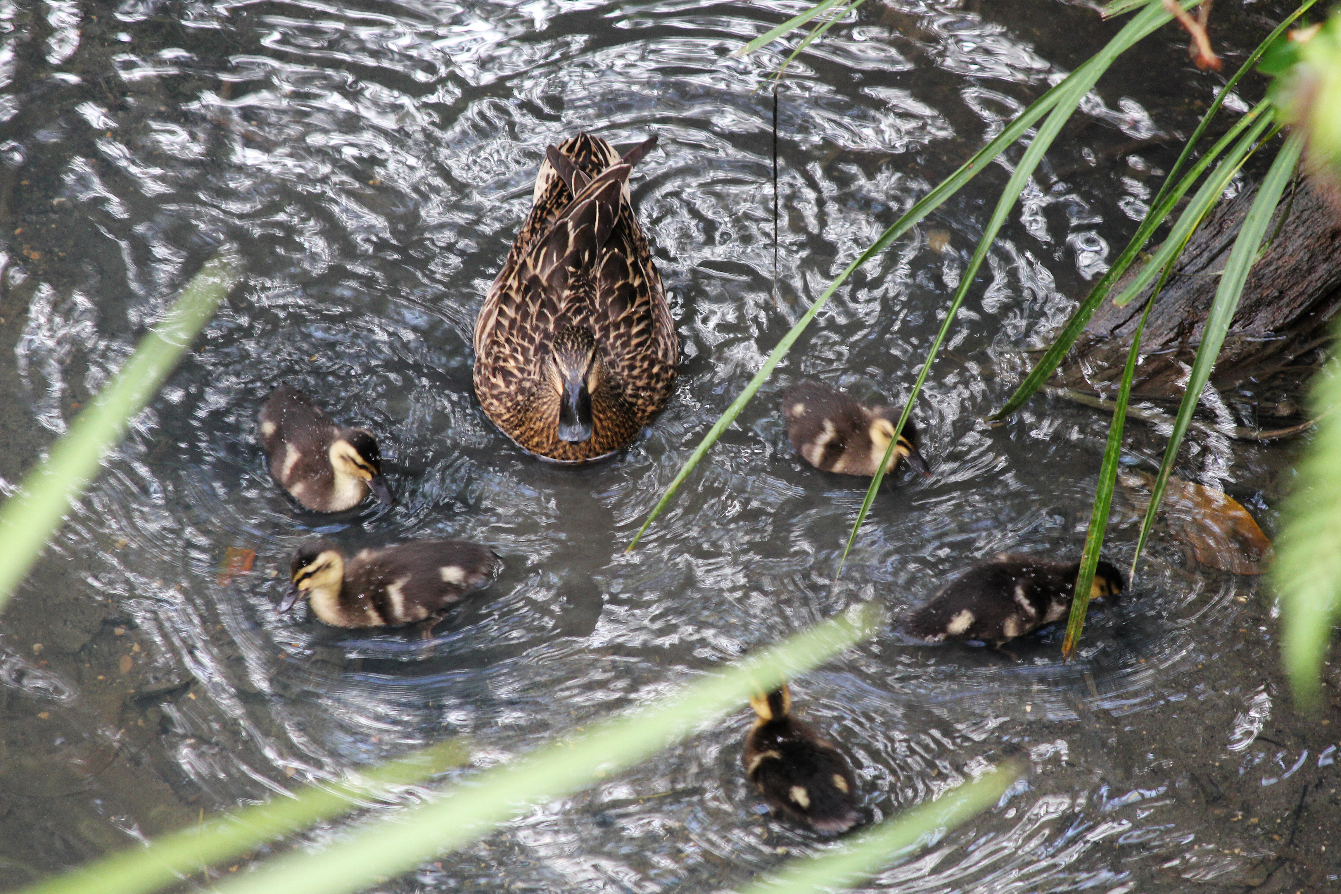 Ducklings with Mother.jpg